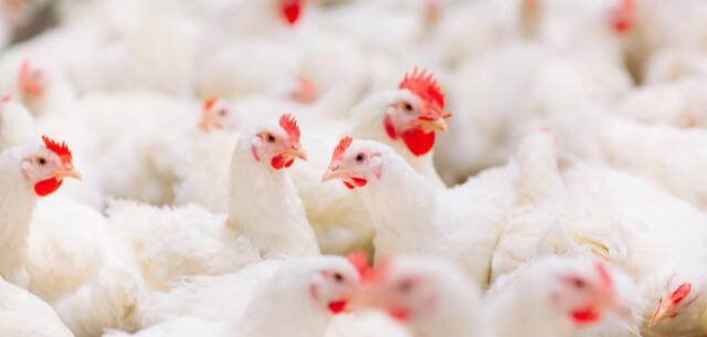 XL Smart Poultry